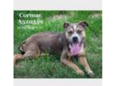 Adopt CORMAC a Pit Bull Terrier, Mixed Breed