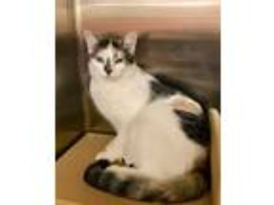 Adopt Kali a Calico or Dilute Calico Domestic Shorthair (short coat) cat in