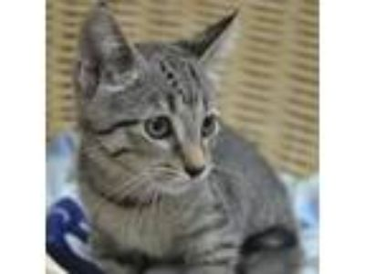 Adopt Bolt a Brown Tabby Domestic Shorthair (short coat) cat in Wheaton