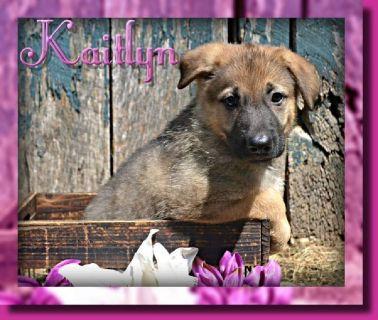 Kaitlyn Female AKC German Shepherd