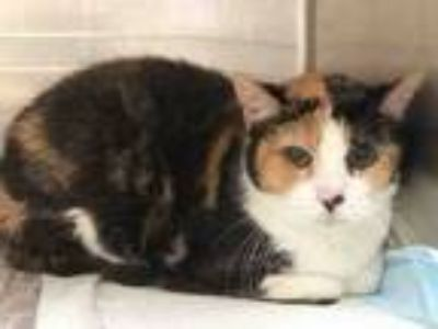 Adopt BRITTNEY a Domestic Short Hair