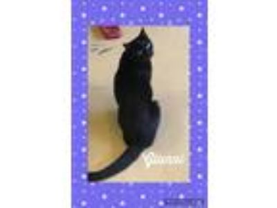 Adopt Gianni a All Black Domestic Shorthair (short coat) cat in Goshen
