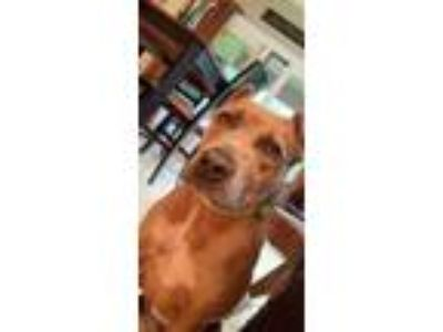 Adopt Scooby a Pit Bull Terrier