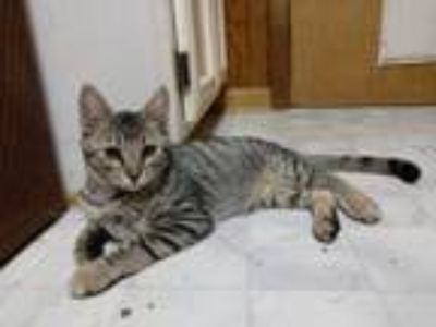 Adopt Sparky a Tabby, Domestic Short Hair