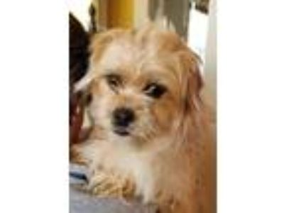 Adopt Courtney Fox a Brussels Griffon / Cairn Terrier / Mixed dog in Seattle