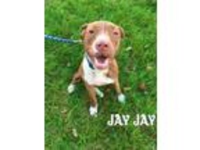 Adopt JayJay (aka Chaco) a Pit Bull Terrier