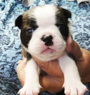 Sweet Boston Terrier puppies! M/F  Red/white or black/whites