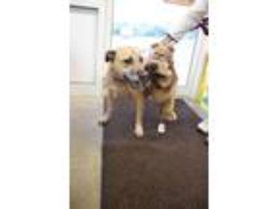 Adopt HOOCH a Pit Bull Terrier, Boxer