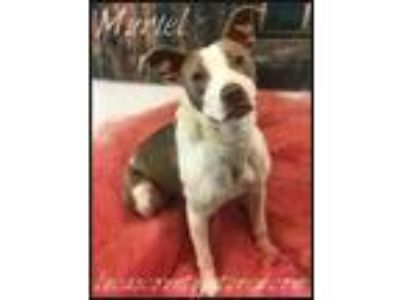 Adopt Muriel a Pit Bull Terrier, Boxer