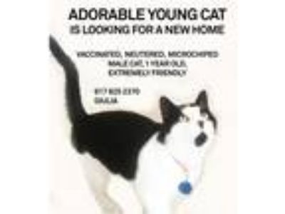 Adopt Masik a Black & White or Tuxedo Domestic Shorthair / Mixed cat in New