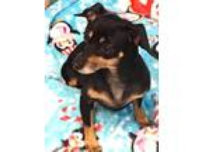 Adopt Mrs. Wiggly a Dachshund