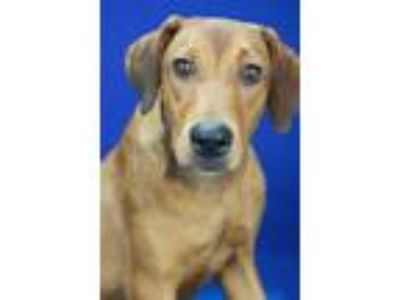 Adopt Janine - 080409L a Red/Golden/Orange/Chestnut Labrador Retriever / Mixed