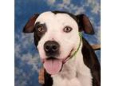 Adopt Sam a White Terrier (Unknown Type, Small) / Mixed dog in St.