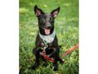 Adopt Arrow a Black Shepherd (Unknown Type) / Labrador Retriever / Mixed dog in