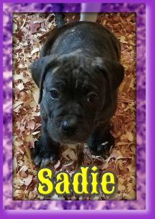 Sadie Female American Bulldog Hybrid