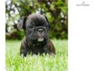 Akc Bruno Super NICE AKC Frenchie Puppy Available!