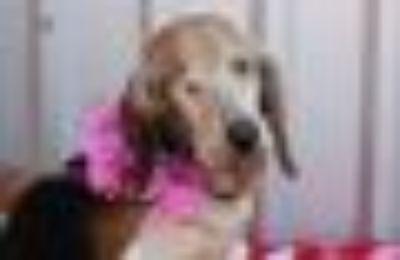 Cupcake Beagle - Basset Hound Dog