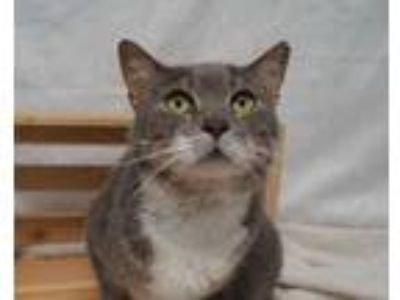 Adopt Calista (C19-101) a Gray or Blue Domestic Shorthair / Domestic Shorthair /