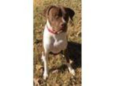 Adopt Seneca a Pit Bull Terrier, Labrador Retriever