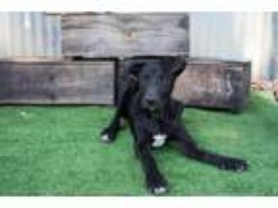Adopt Joey a Black - with White Labrador Retriever / Mixed dog in Winters