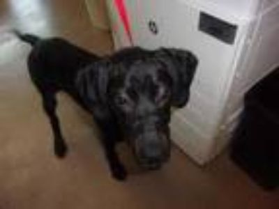 Adopt 42157088 a Black Labrador Retriever / Mixed dog in Arlington