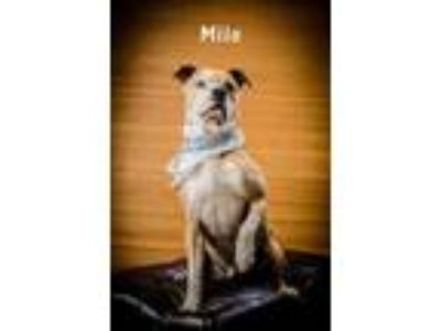 Adopt Milo a Brown/Chocolate Boxer / Mixed dog in North Myrtle Beach
