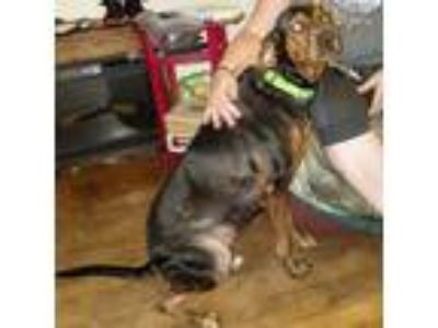 Adopt Abby a Black - with Tan, Yellow or Fawn Labrador Retriever / German