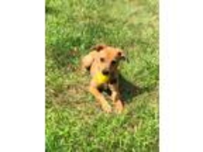 Adopt Sally a Tan/Yellow/Fawn - with White Terrier (Unknown Type