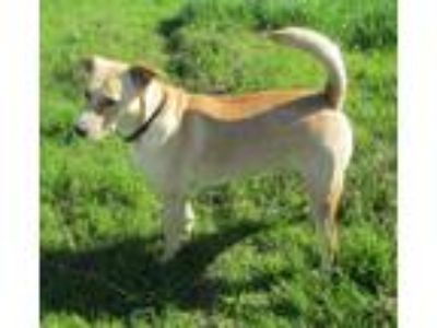 Adopt Indy a Tan/Yellow/Fawn - with White Labrador Retriever / Border Collie /