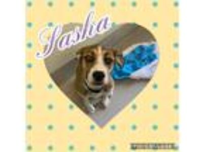Adopt Sasha a Tan/Yellow/Fawn Shepherd (Unknown Type) dog in Dickson