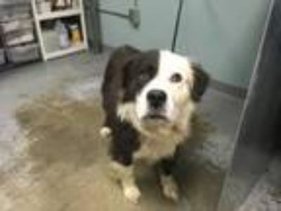 Adopt 42183121 a Border Collie, Mixed Breed