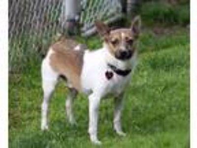 Adopt Neil a Terrier, Shiba Inu