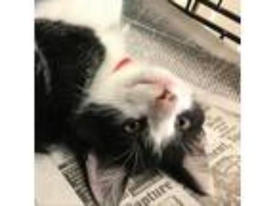 Adopt Woody a All Black Domestic Shorthair cat in Pendleton, NY (25936742)