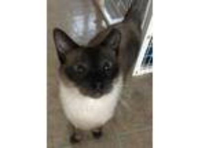 Adopt Ching a Siamese