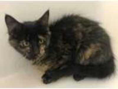 Adopt Tilly a All Black Domestic Mediumhair / Domestic Shorthair / Mixed cat in
