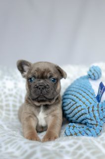 French Bulldog PUPPY FOR SALE ADN-105467 - French Bulldog Puppy Zeus