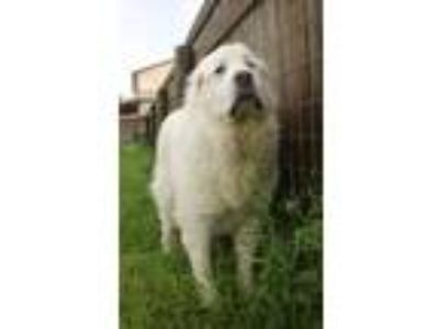 Adopt Gabe a Great Pyrenees / Mixed dog in Quakertown, PA (25330189)