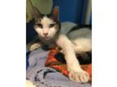 Adopt Stewart a Tiger Striped Domestic Shorthair (short coat) cat in Oneonta