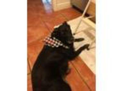 Adopt ROO a Labrador Retriever