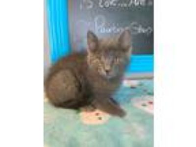 Adopt Tiny a Gray or Blue Maine Coon (short coat) cat in Sugar Grove