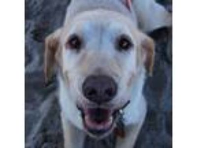 Adopt Guerita a Labrador Retriever / Mixed dog in Seattle, WA (22617450)