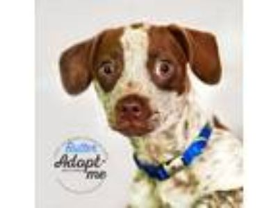 Adopt Butter a Pointer / Dachshund dog in Mooresville, NC (25846064)