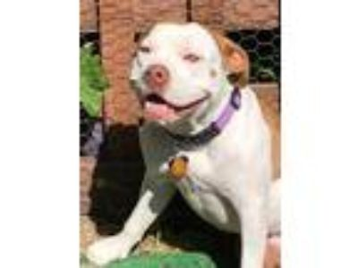 Adopt Coco Bea a White - with Brown or Chocolate American Pit Bull Terrier /
