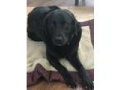 Adopt Rocco a Black Labrador Retriever dog in Columbia, SC (25529110)