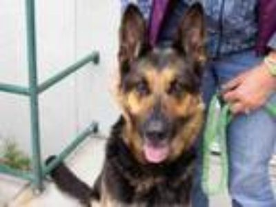 Adopt MACIE - ID#A385807 a German Shepherd Dog