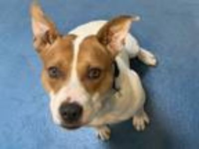 Adopt ROLLY a Pit Bull Terrier, Mixed Breed