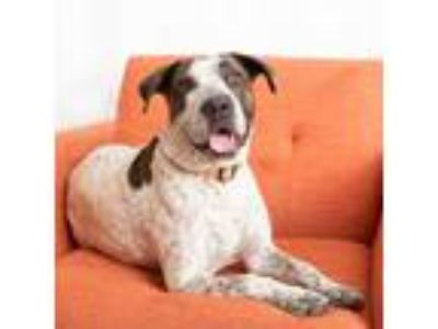 Adopt Yasmine a American Staffordshire Terrier, Bull Terrier