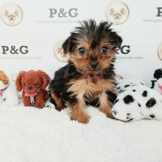 Yorkshire Terrier PUPPY FOR SALE ADN-108389 - YORKSHIRE TERRIER FREDDIE MALE