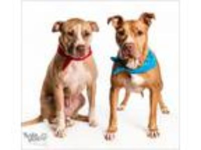 Adopt Oggy & Indy a Pit Bull Terrier