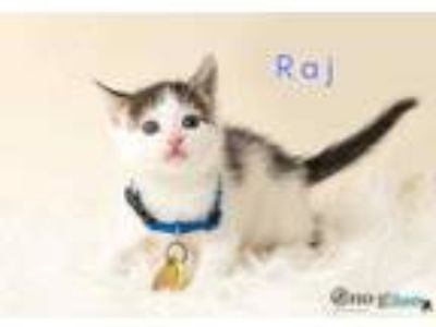 Adopt Raj a White Domestic Shorthair / Domestic Shorthair / Mixed cat in